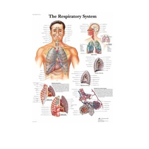 "Plakat anatomisk ""The Respiratory System"" 50x67cm"