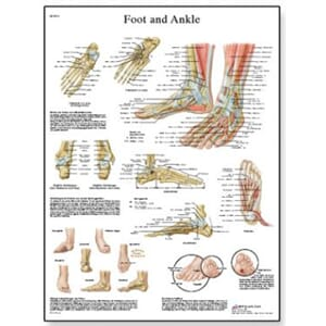 "Plakat anatomisk ""Foot and Joints of Foot"" 50x67cm"
