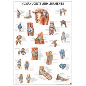 "Plakat anatomisk ""Joints and Ligaments"" 70x100cm"