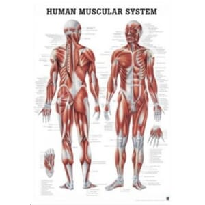 "Plakat anatomisk ""Human Muscular System"" 70x100cm"