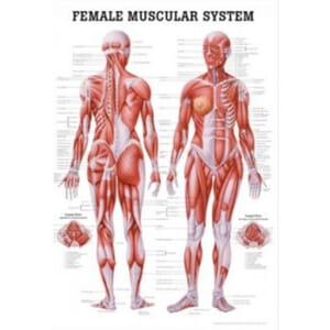 "Plakat anatomisk ""Female Muscular System"" 70x100cm"