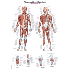 "Plakat anatomisk ""The human muscles"" 50x70cm"