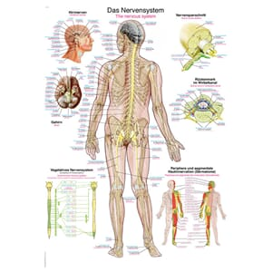 "Plakat anatomisk ""The nervous system"" 70x100cm"
