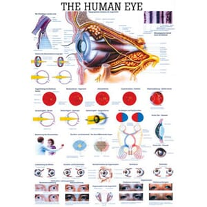 "Plakat anatomisk ""The Human Eye"" 70x100cm"