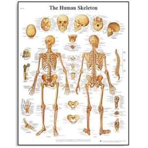 "Plakat anatomisk ""The human skeleton"" 50x67cm"