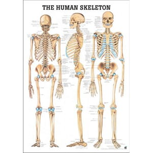 "Plakat anatomisk ""The Human Skeleton"" 70x100cm"